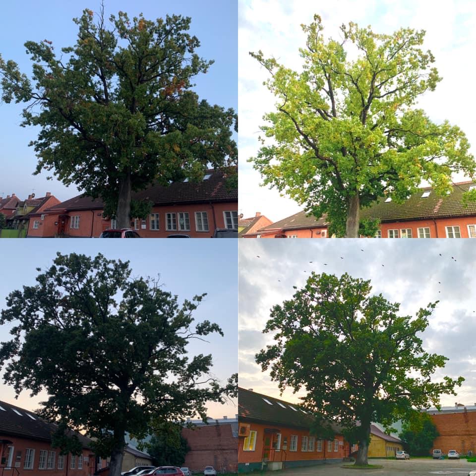 Puu hoolduslõikus Viljandis